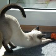 Warum wackeln Katzen mit dem Schwanz?